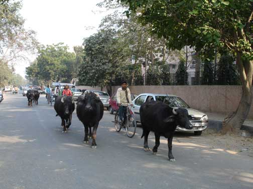 Cows walking down the street in the suburbs of Delhi.